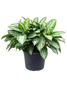 Aglaonema Silver Bay 80 cm (Chinese Evergreen)