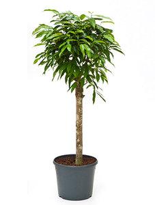 Ficus Amstel King op stam 130 cm