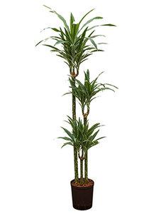 Dracaena Deremensis 140 cm - 3 stam (Hydroplant)