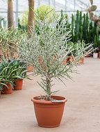 Euphorbia stenoclada 90 cm - vertakt