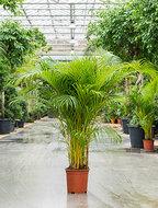 Areca Palm 170 cm (Goudpalm)