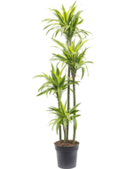 Op Planten in de tuin is alles over planten te vinden: waaronder homemeetsnature en specifiek Dracaena Lemon Lime 160 cm - 4 stam (Dracaena-Lemon-Lime-160-cm---4-stam15853)