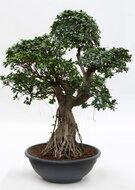Ficus Microcarpa Bonsai vertakt