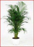 Areca (Chrysalidocarpus.) Lutescens