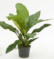 Kamerplanten > Anthurium Jungle Bush