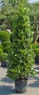 Laurus Nobilis Laurier Pyramide tuinplant
