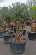 Olijfboom Bonsai 220 cm hoog