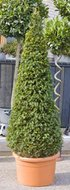 Taxus Baccata Pyramide tuinplant