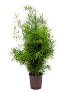 Asparagus Falcatus (Hydroplant)