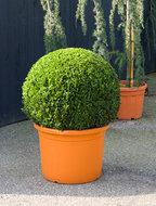 Buxus Sempervirens Bol dia 75 cm
