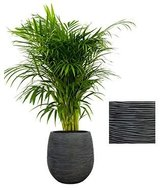 Areca palm in luxe Capi Nature Bol pot zwart