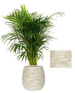 Areca palm in luxe Capi Nature Bol pot ivoor