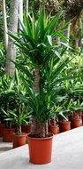 Yucca Elephantipes 3 stam