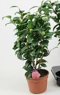 Camellia japonica roze 'Bonomiana' + 25 KNOP