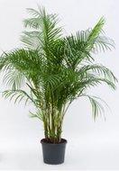 Areca (Chrysalidocarpus.) Lutescens (Kamerplant)
