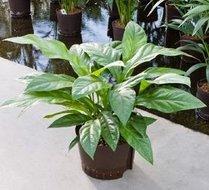 Anthurium Jungle bush Hydroplant