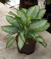 Aglaonema Silver bay Hydroplant
