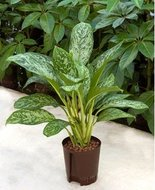 Aglaonema Green light (Hylant)