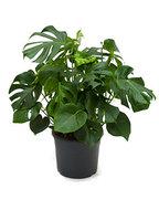 Philodendron Pertusem 80 cm (Gatenplant)
