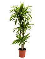 Dracaena Lemon Lime 3 stam