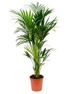 Kentia Palm 140 cm (Howea Forsteriana)