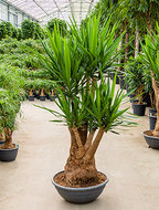 Yucca Elephantipes XL