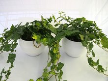 2x Hedera groen in Pot Gracka white
