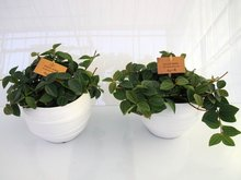 2x Peperomia in Pot Gracka white