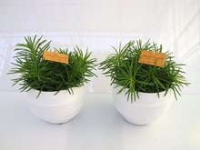 2x Senecio Himalya in Pot Gracka white