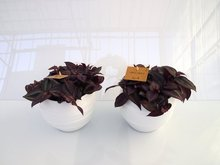 2x Tradescantia paars in Pot Gracka white