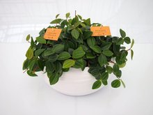 Peperomia (3 planten) in schaal Gracka pure white.