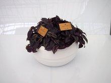 Tradescantia paars (3 planten) in schaal Gracka pure white.