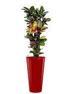 Croton (codiaeum) petra incl pot Style rood