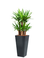 Yucca elephantipes incl pot Style Square antraciet