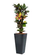 Croton (codiaeum) petra incl pot Style Square antraciet