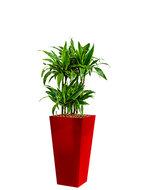 Dracaena arturo incl pot Style Square rood