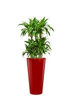 Dracaena arturo incl pot Style rood