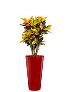 Croton (codiaeum) iceton incl pot Style rood