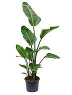 Strelitzia nicolai (110-120) - Toef