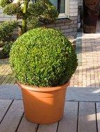Buxus Sempervirens Bol dia 50cm
