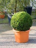 Buxus Sempervirens Bol dia 60cm
