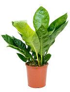Anthurium jungle king - Bush