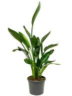 Strelitzia reginae - Toef (zonder bloem)