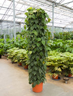 Philodendron scandens - Draadzuil