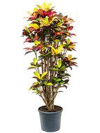 Croton Iceton 170 cm