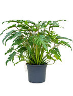 Philodendron Xanadu 80 cm