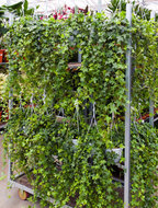 Hedera Helix Pittsburgh hangplant 80 cm. (Kamerplant)