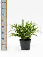 Aglaonema Cutlass 50 cm. (Kamerplant)