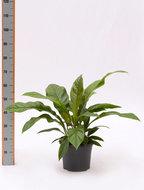 Kamerplanten > Budget kamerplanten