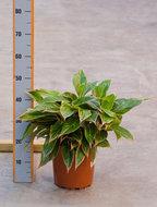 Aglaonema Tivoli 55 cm Kamerplant